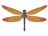 Carboniferous Meganeura Dragonfly