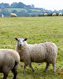 Sheep grazing in rural Northern Ireland farmland