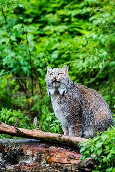 Canadian Lynx Looking Up