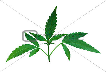 green marijuana leaves detail