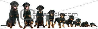 growth of puppy rottweiler