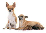 family of chihuahua