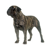 bull mastiff in studio