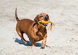 dachshund on beach