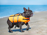 french bulldog on beach
