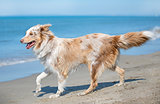 australian shepherd on the beach
