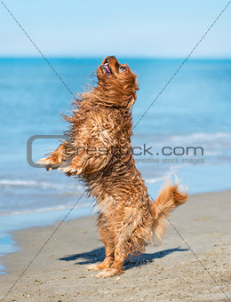 cavalier king charles on beach
