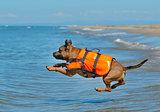 staffie on beach