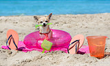 chihuahua on beach