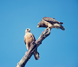 Two Red Shouldered Hawks