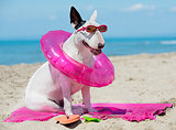 bull terrier on beach