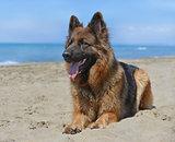 german shepherd on a beach