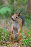 Young squirrel standing in grass