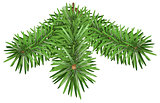 Green Fir branch. Pine branches isolated on white background