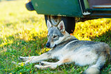 domesticated wolf dog resting relaxed on a meadow in shadow of caravan car. Czechoslovakian shepherd.