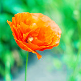 Beautiful photo of poppy in bloom on green meadow background