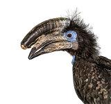 Black Casqued Hornbill isolated on white