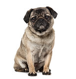Pug isolated on white