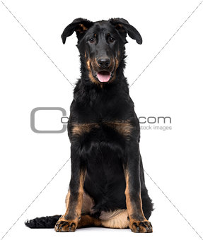 Beauceron puppy isolated on white