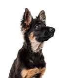 German Shepherd Dog puppy isolated on white