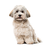 Havanese isolated on white