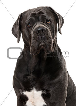 Cane Corso isolated on white