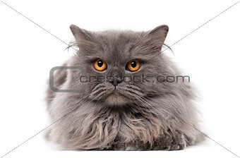 British Longhair isolated on white