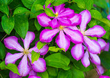 clematis. Beautiful purple flowers of clematis over green backgr