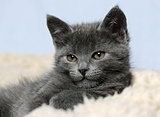 cute grey kitty