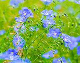 flax flowers. A field of blue flax blossoms. blue flax. blue fla