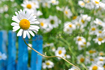 Chamomile and blue fence