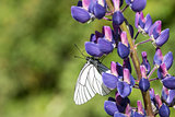 white cabbage butterfly sitting on a blue flower