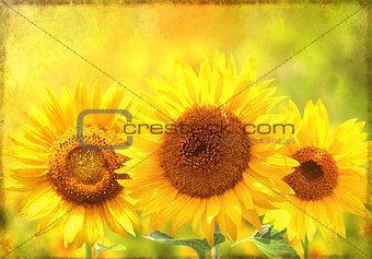 Grunge background with sunflower