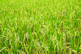 Field of ripe rice