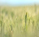 Wheat field in early summer