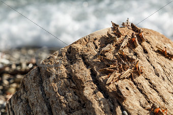 Pague of locusts on the sea coast