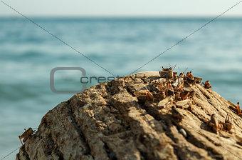 Pague of locusts on the sea coast