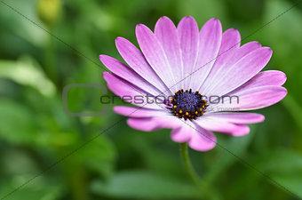 Beautiful purple daisy