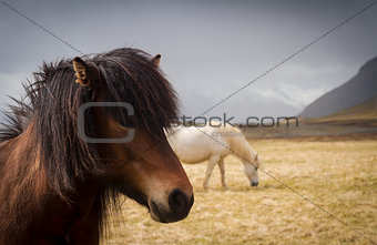 Pair of Icelandic horses on a field