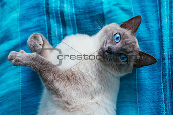 cat with blue eyes on a  background