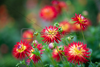 Dahlia red and yellow flowers in garden full bloom
