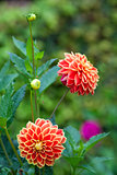 Dahlia orange and yellow flowers in garden full bloom closeup