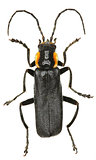 Black Soldier Beetle on white Background
