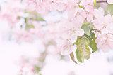 spring blooming apple tree