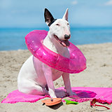 bull terrier on the beach