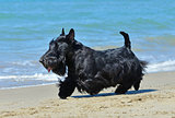 scottish terrier on beach