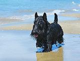 scottish terrier on beach