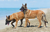 malinois on beach