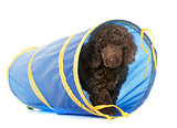 puppy brown poodle in agility