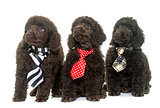 puppies brown poodle